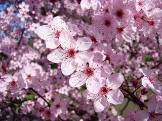 Tree-blossoms-pink-spring-flowering-trees-baslee-troutman-baslee-troutman-fine-art-prints