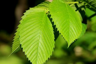 New-elm-leaves